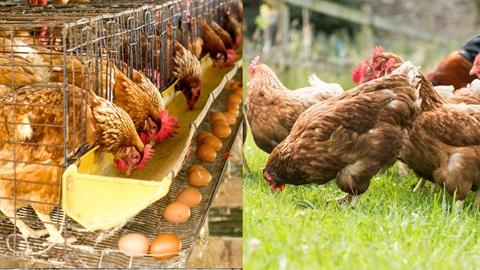 Cómo se crian las gallinas