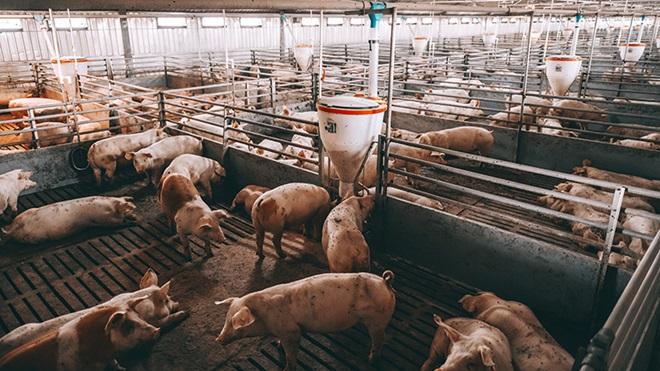 Granja porcina  y gases de efecto invernadero