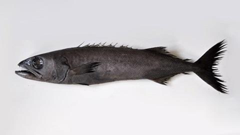 pez escolar negro