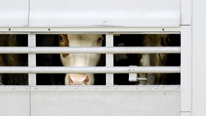 Vacas enfermas sacrificadas en Polonia