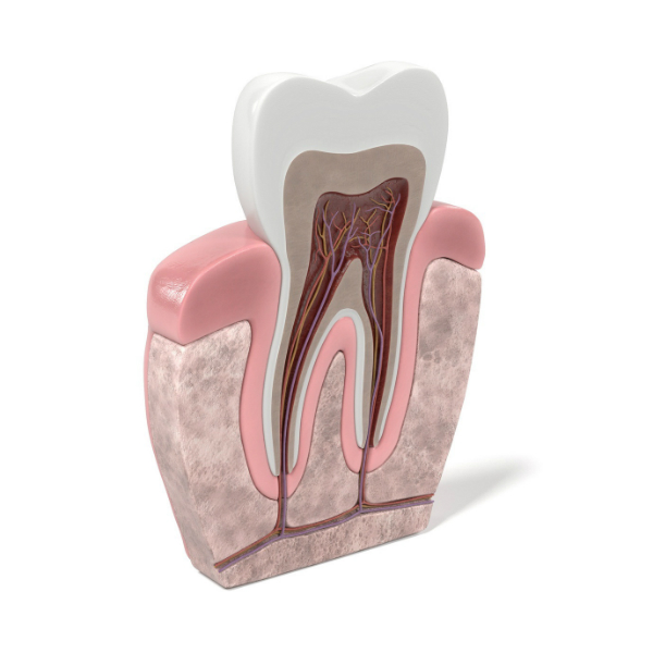 endodoncia-estructura-dental