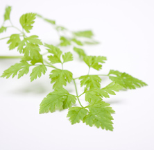 hierbas aromáticas  cerefolio