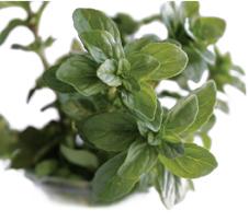 hierbas aromáticas poleo