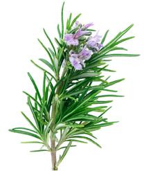 hierbas aromáticas  romero