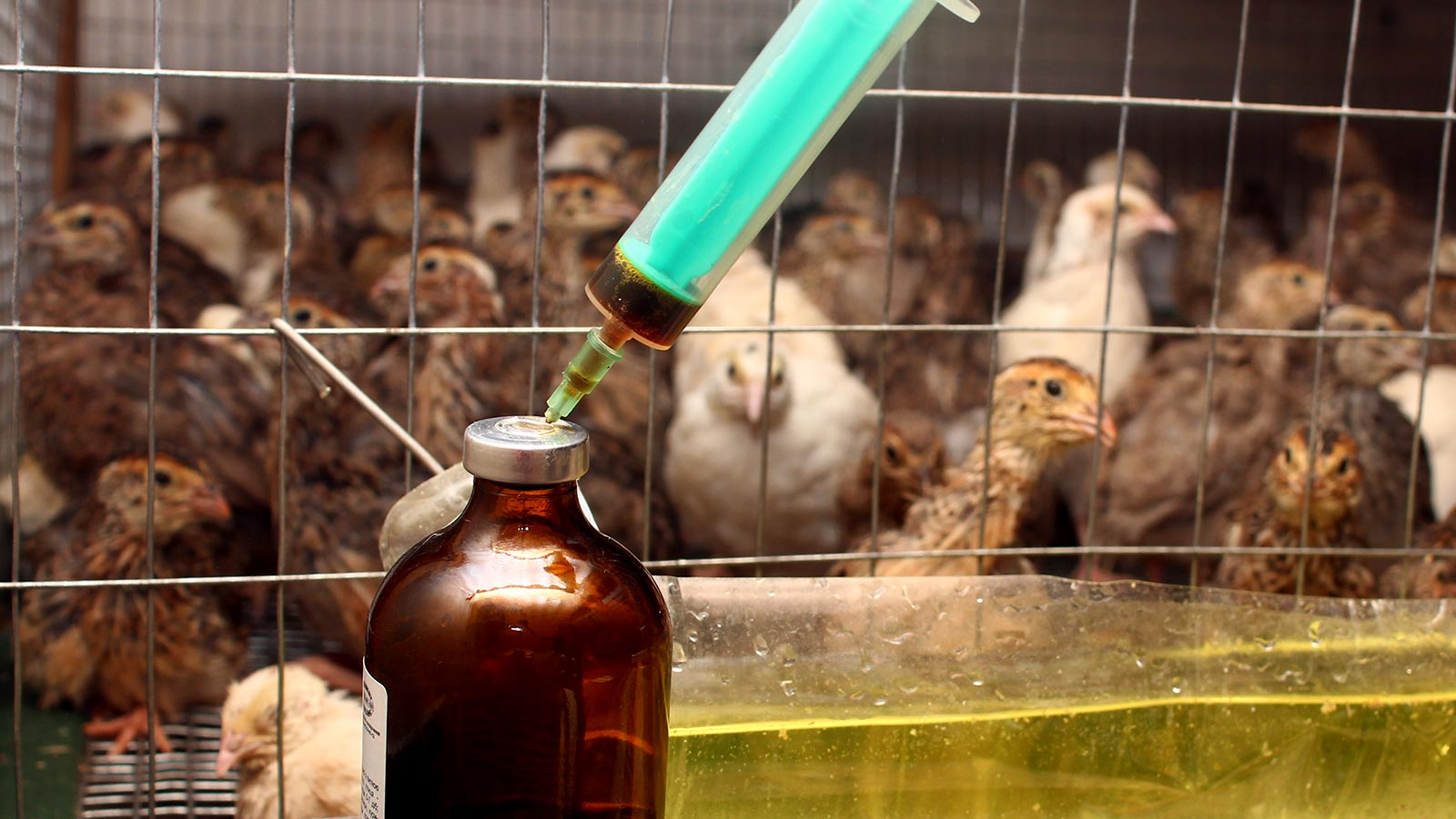 Resistencia antibioticos animales